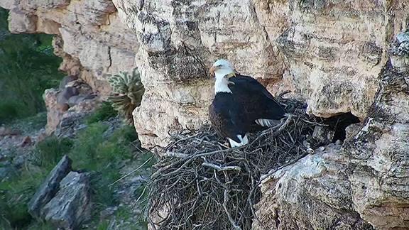 Lake-Pleasant-bald-eagles-Jan2019.jpg?15