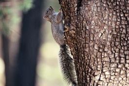 Squirrel_-_Gray_-_Tree.jpg
