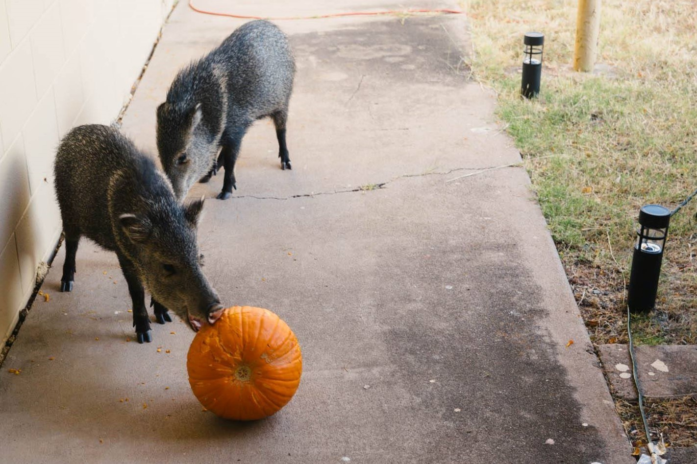 javelina-pumpkins-Ft-Huachuca.jpg