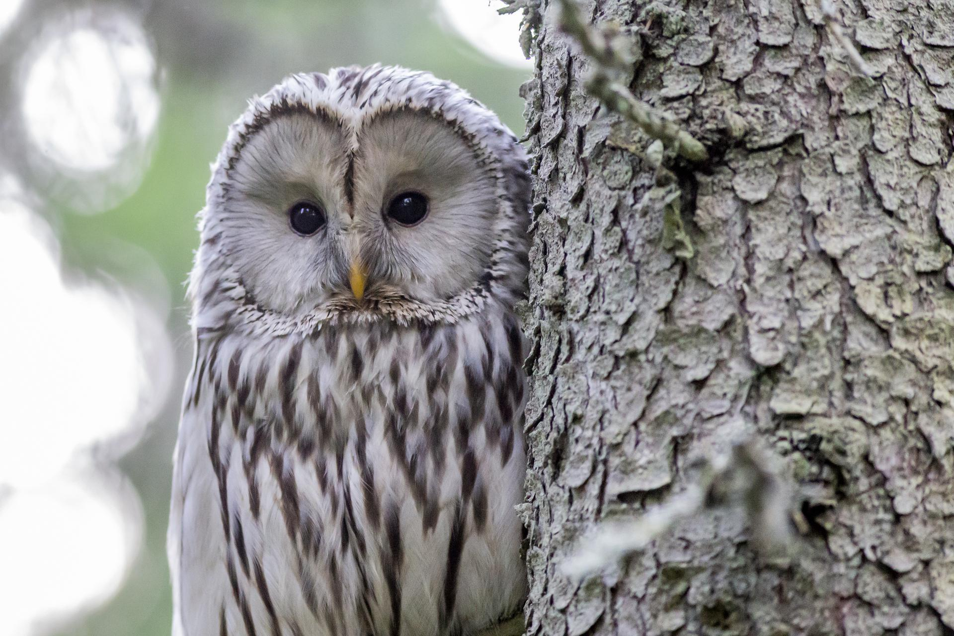 owl ecology